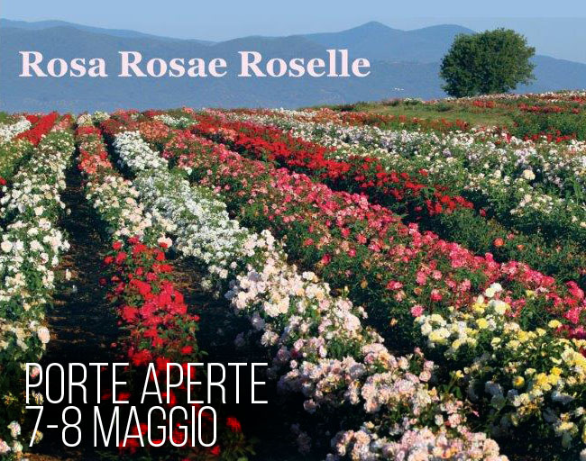 roselle-rose-barni