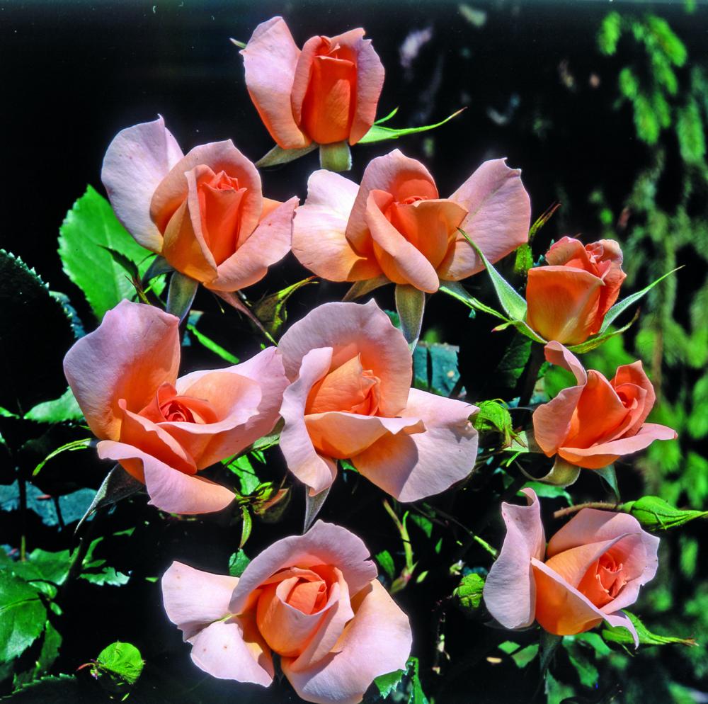 Rita Levi Montalcini®